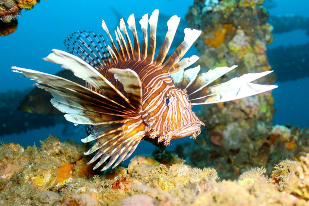 Lionfish in the water